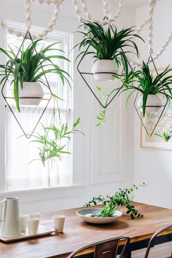 Plantas colgantes - Chlorophytum