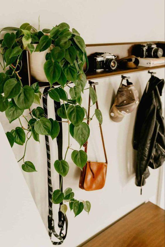 Filodendro, planta de interior