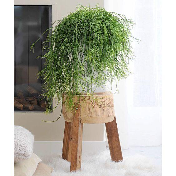 Cactus muérdago de interior
