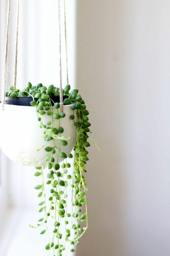Planta rosario de interior